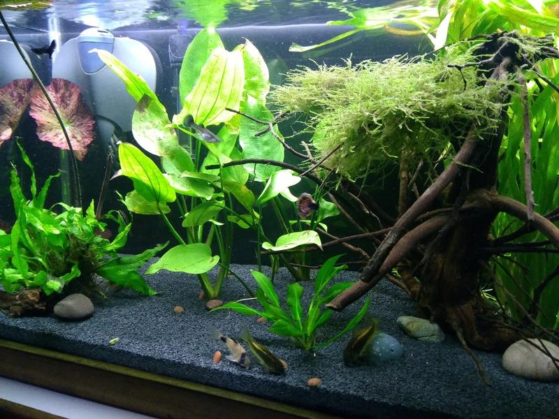 Nuevo acuario 60 litros guppys orejones Img_2016
