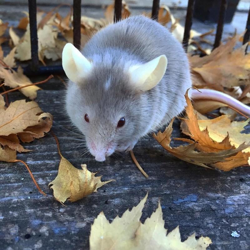 Pumpkin Mice - Updates 2016-111