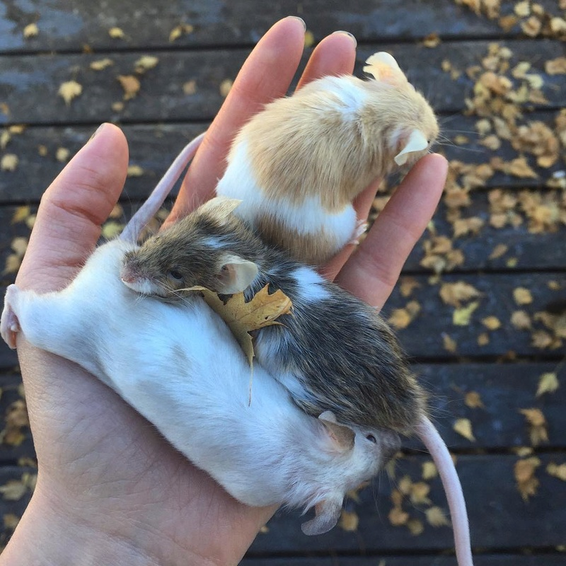 Pumpkin Mice - Updates 2016-113