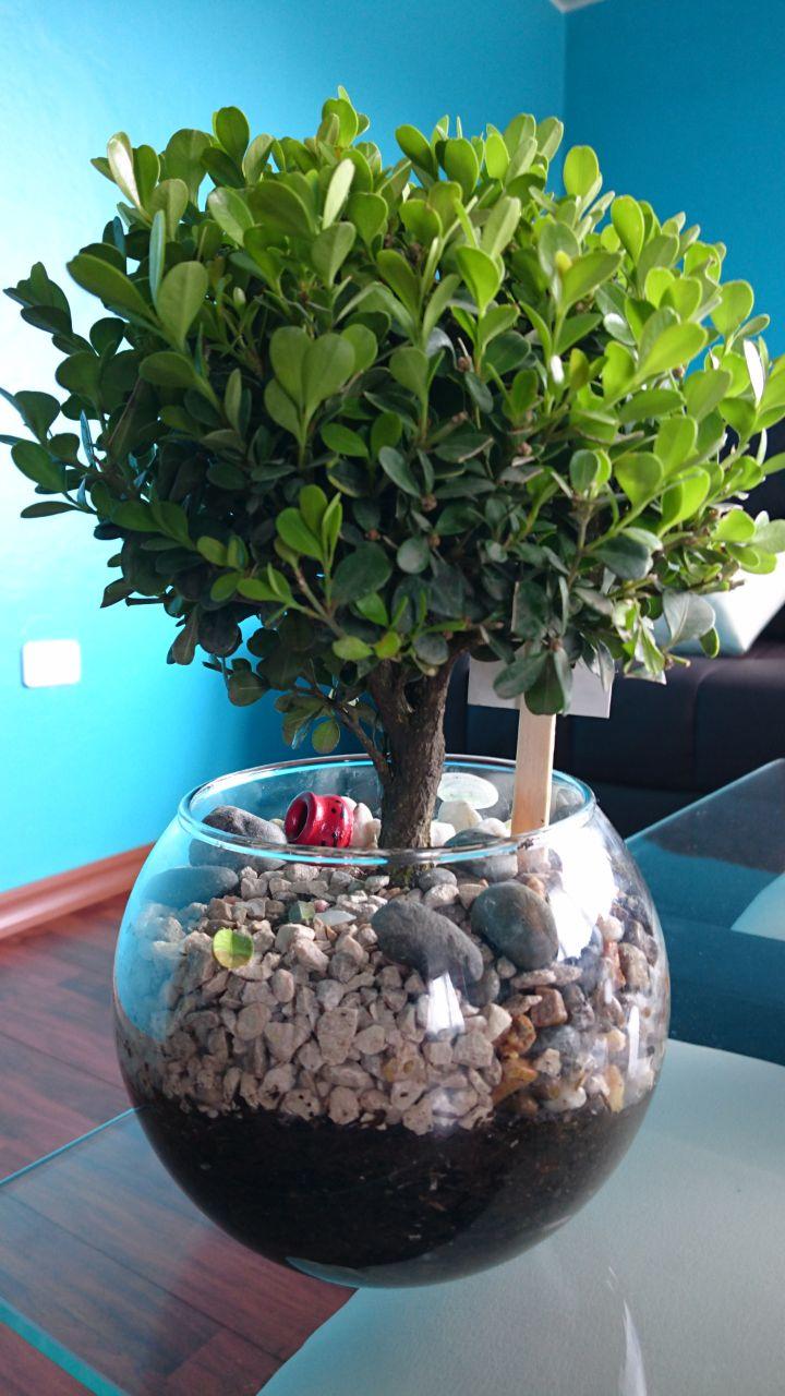 Mi nuevo bonsai Jawi10
