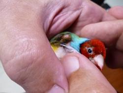 Bolinha na asa do Pássaro  P1030311
