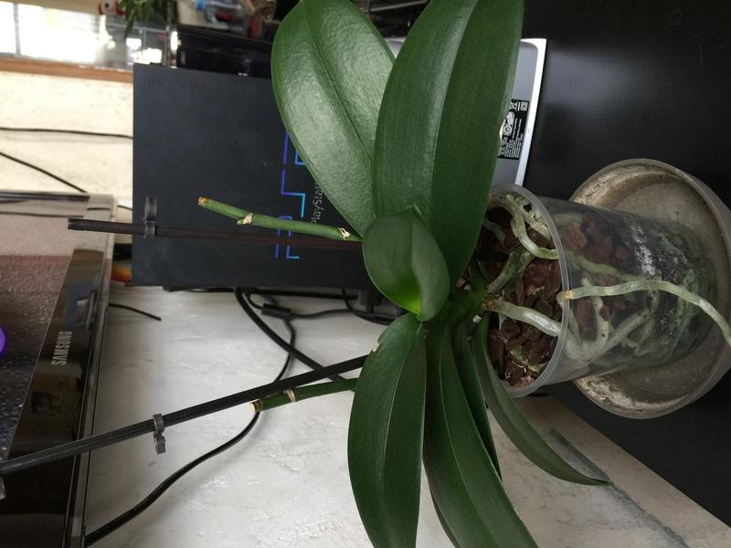 Mes petites orchidées :) Photo_12