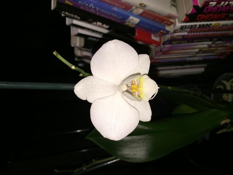 Mes petites orchidées :) Photo_21