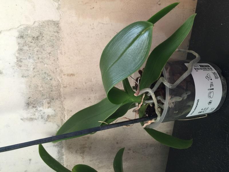Mes petites orchidées :) Photo_24