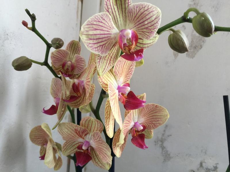 Mes petites orchidées :) Photo_26