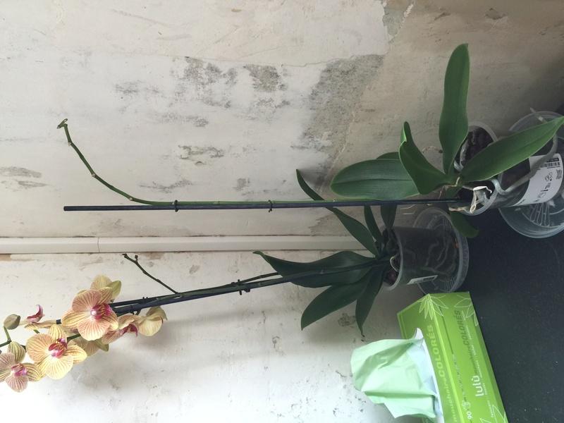 Mes petites orchidées :) Photo_27