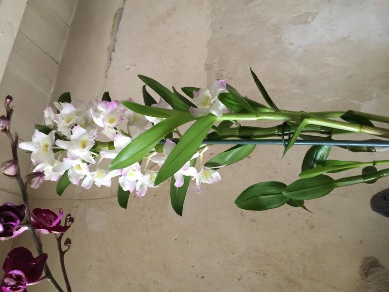 Mes petites orchidées :) Photo_29