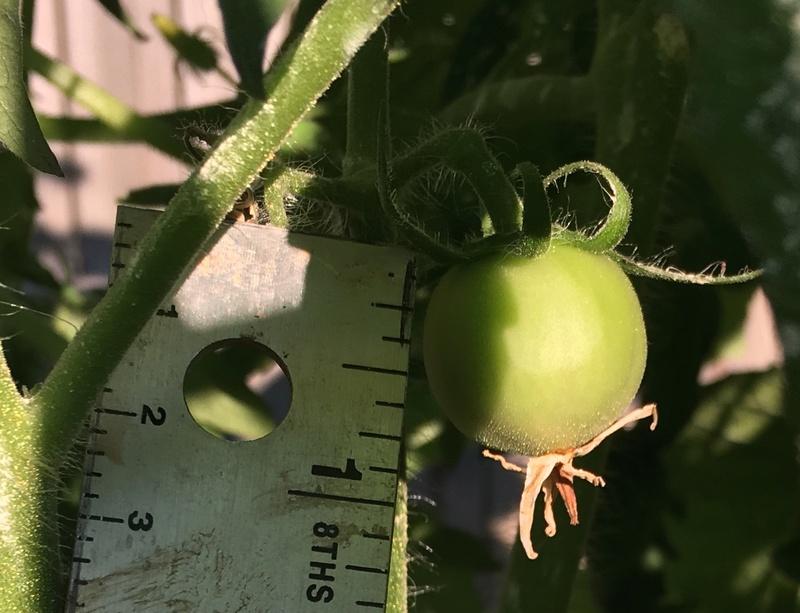 Tomato Tuesday 2017 Img_3821