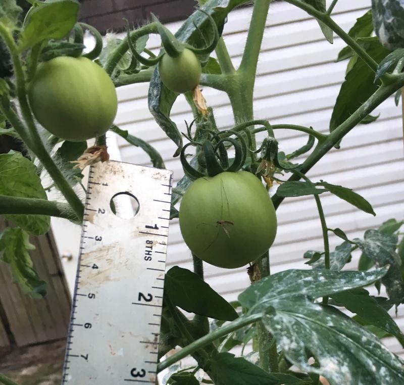 Tomato Tuesday 2017 Img_3827