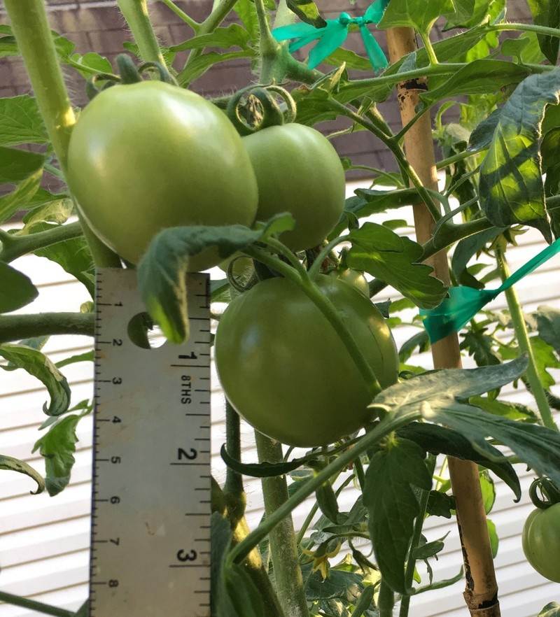 Tomato Tuesday 2017 Img_3919