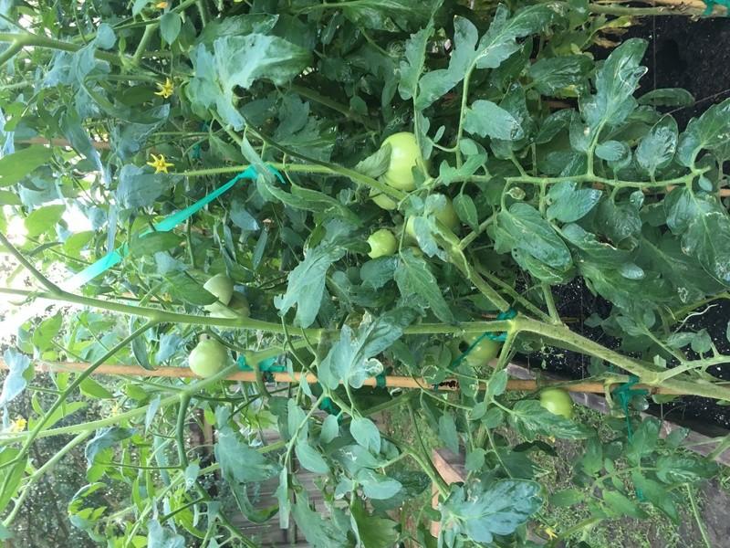 Tomato Tuesday 2017 Img_3938