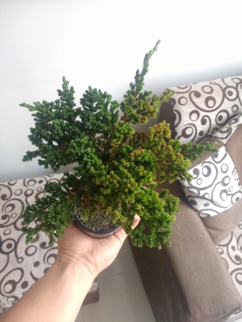 Ayuda con mi bonsai.  Img_2010
