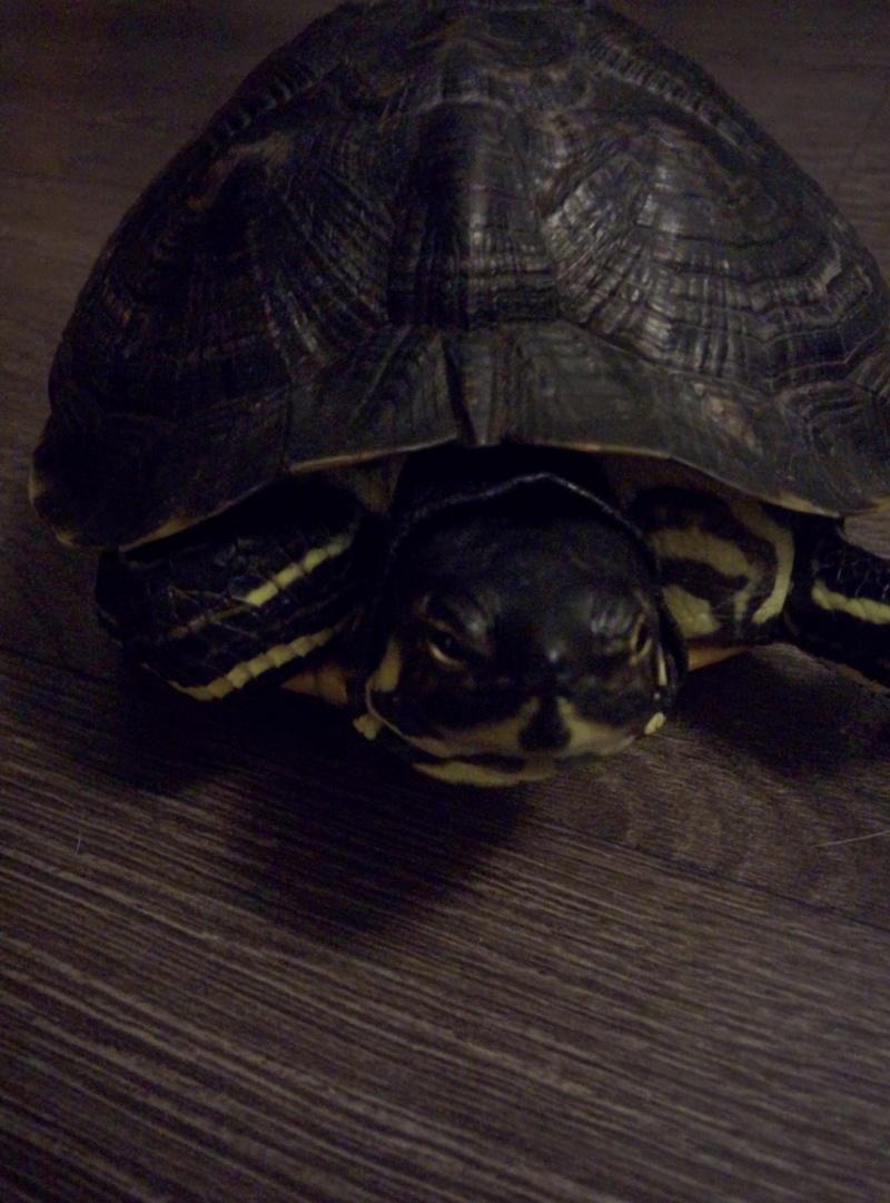 Identification et sexage tortue aquatique  Img_2012