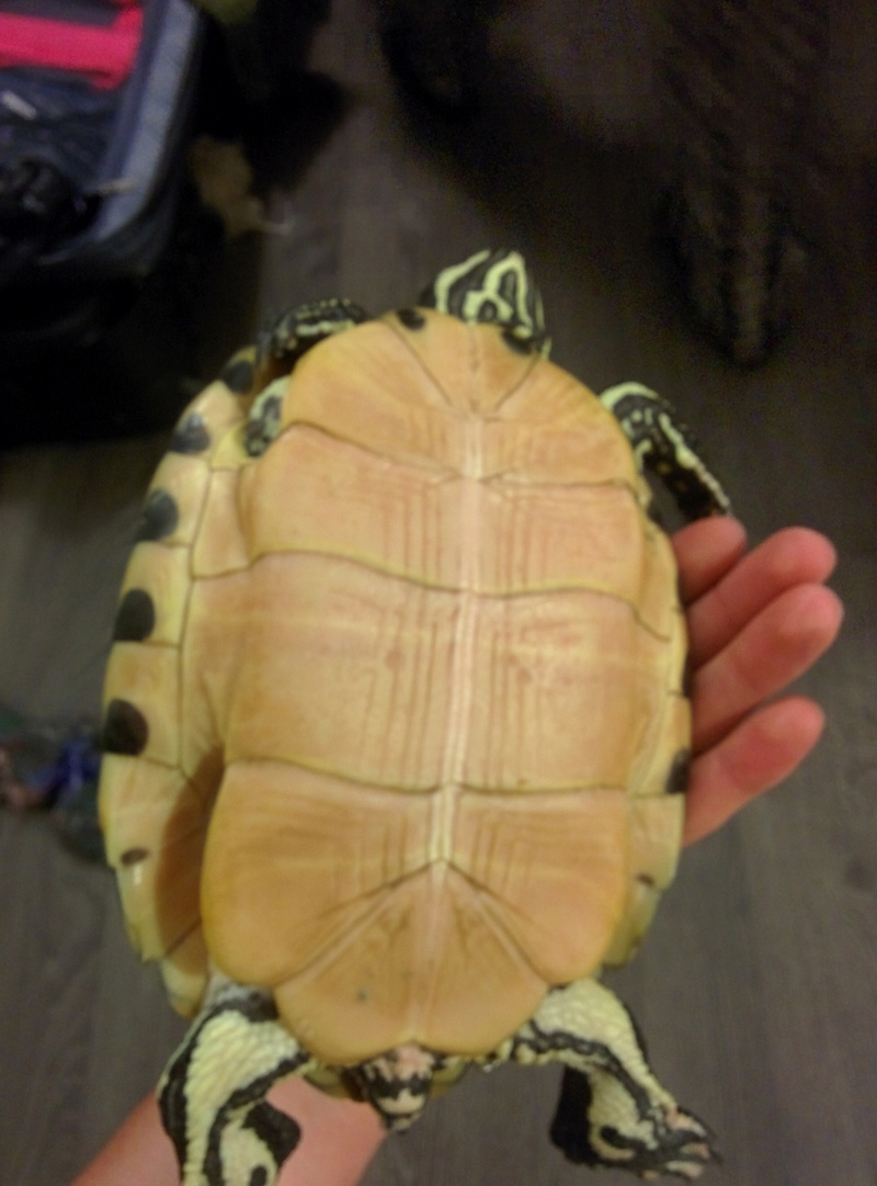 Identification et sexage tortue aquatique  Img_2013