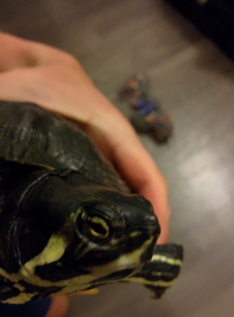 Identification et sexage tortue aquatique  Img_2014
