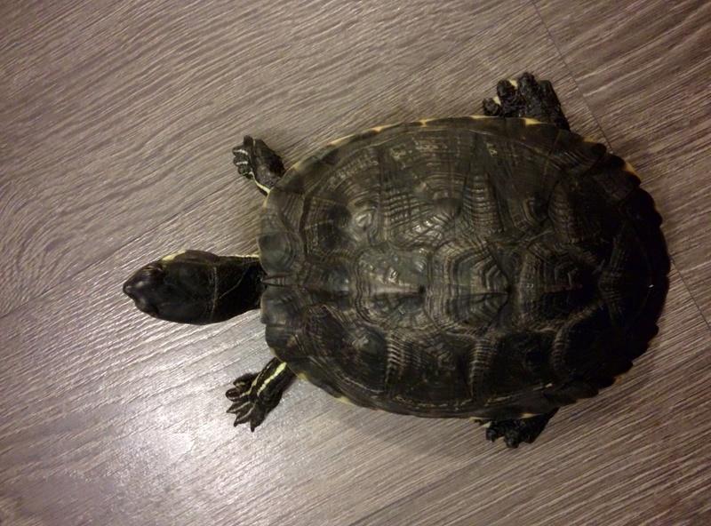 Identification et sexage tortue aquatique  Img_2016