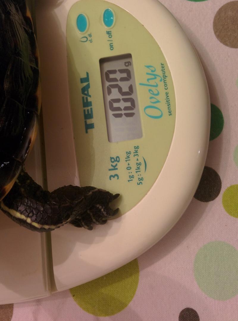 Identification et sexage tortue aquatique  Img_2017