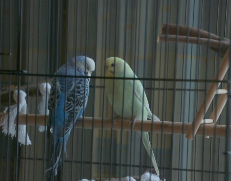 Quel dimension de cage pour plus de deux perruches ? - Page 2 411