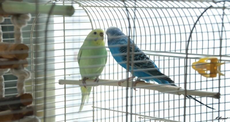 Mes petites compagnes à plumes 510