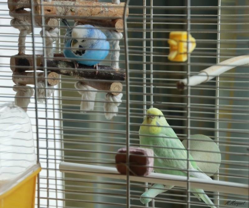 Mes petites compagnes à plumes 810