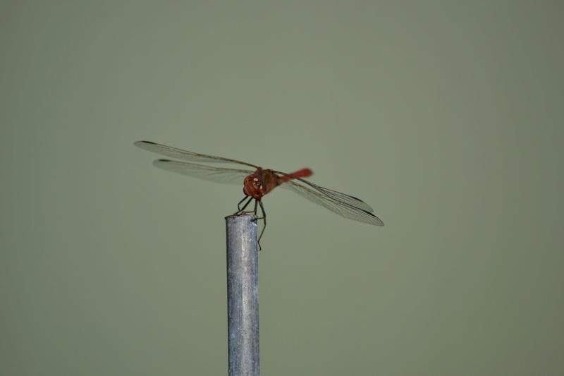 [Sympetrum meridionale] Identification libellule _sc_7610