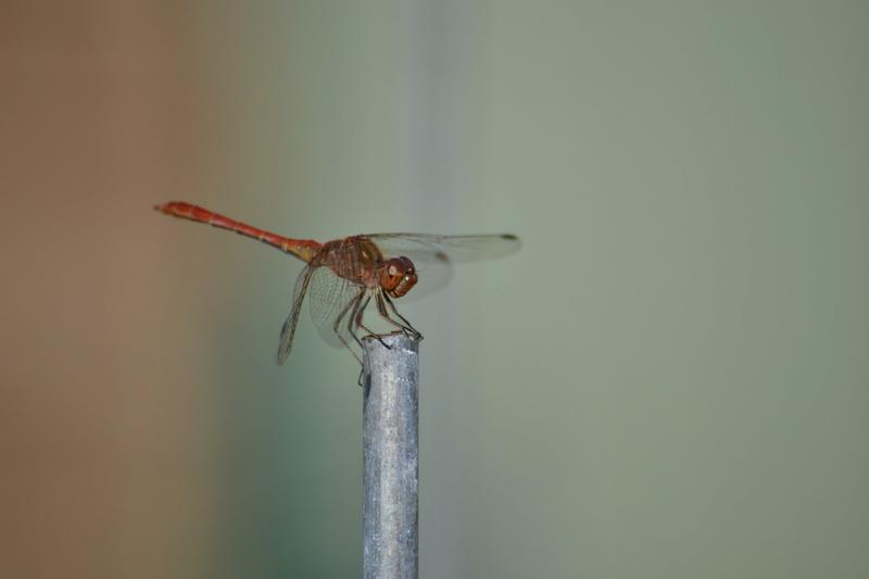 [Sympetrum meridionale] Identification libellule _sc_7611
