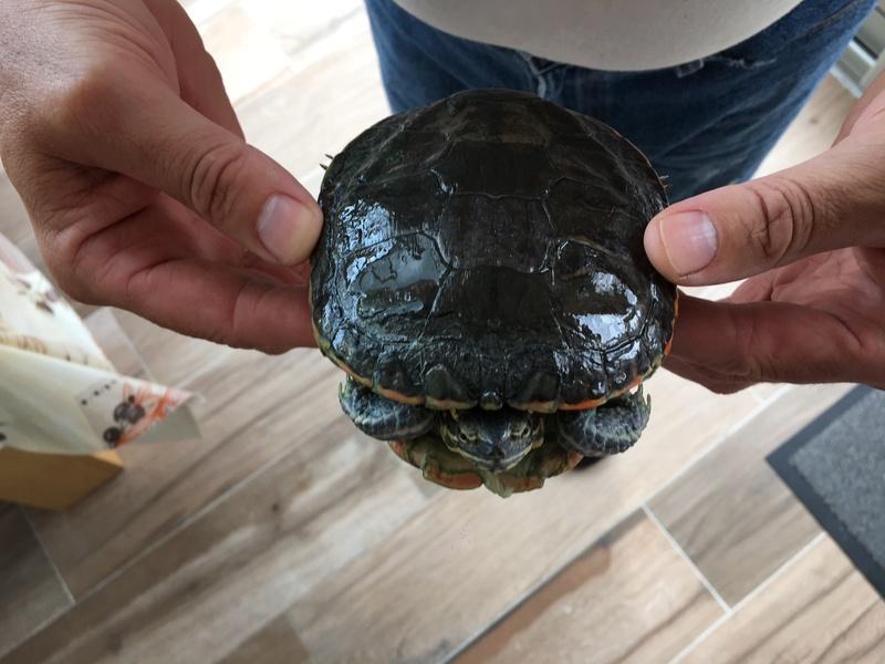 Demande d'identification de deux tortues d'eau nouvellement pensionnaires Tortue11