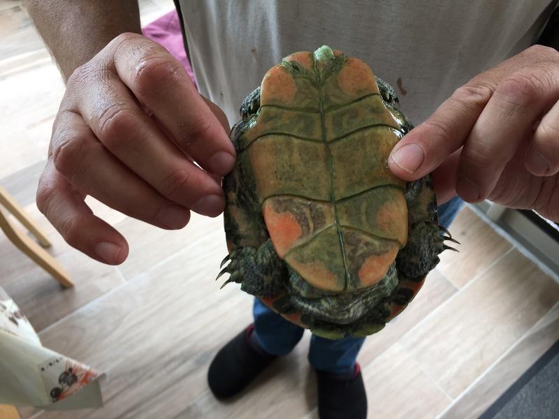 Demande d'identification de deux tortues d'eau nouvellement pensionnaires Tortue12