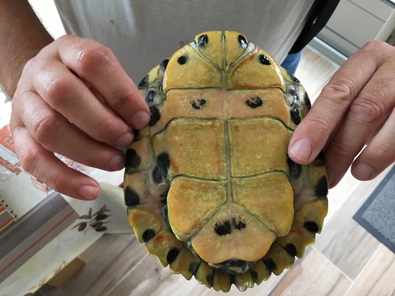 Demande d'identification de deux tortues d'eau nouvellement pensionnaires Tortue14