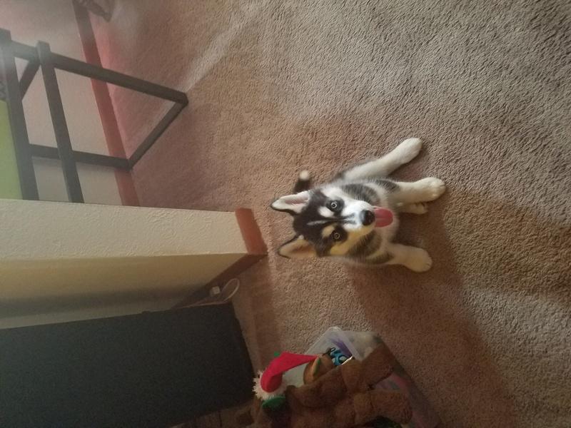 New husky owner 20170910
