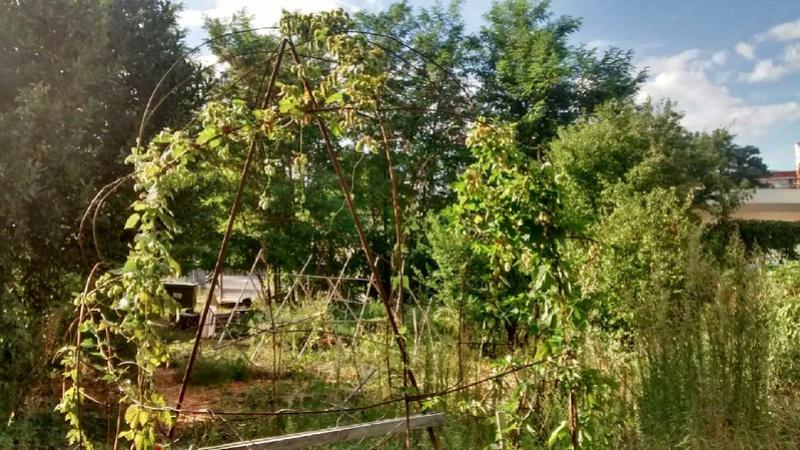 Houblon à récolter et à donner !!  dans un jardin partagé !! Image110