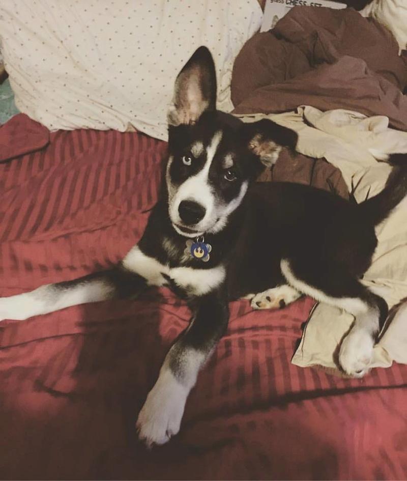 New-ish husky owner!  13669610
