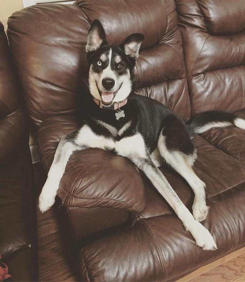 New-ish husky owner!  18156910