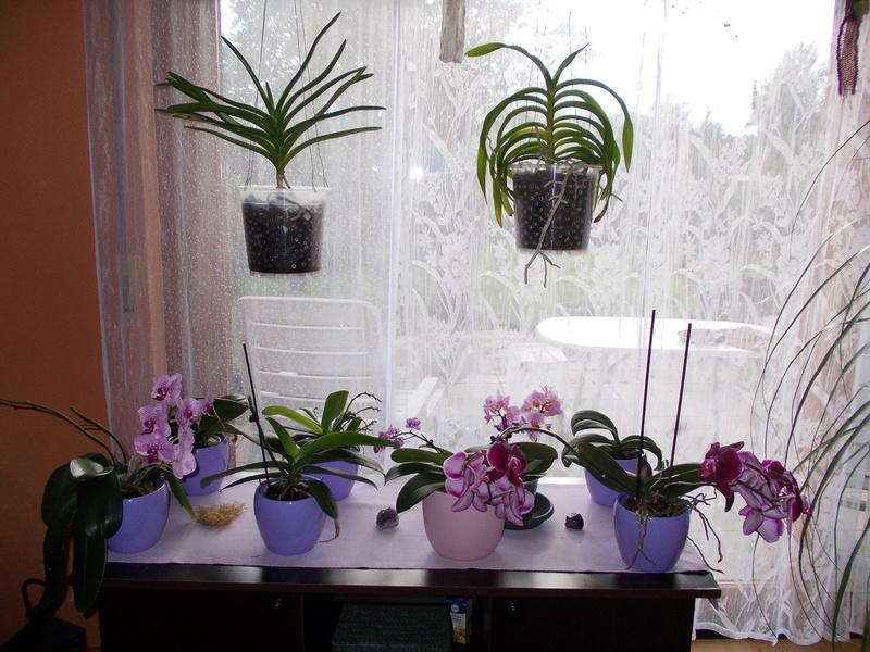 Meine Vandeen haben immer nur einen Blütentrieb, falsches Fenster? 01210