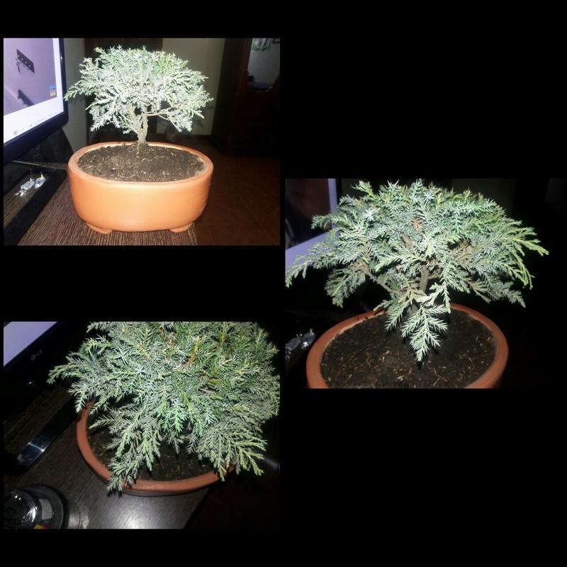 Cual es el nombre de mi bonsai? 1e6fe512