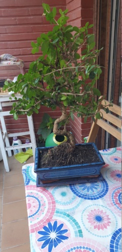 Que hago con mi bonsai 15990311