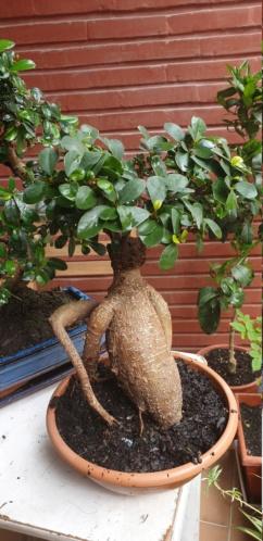 Mi Ficus Ginseng 20200315