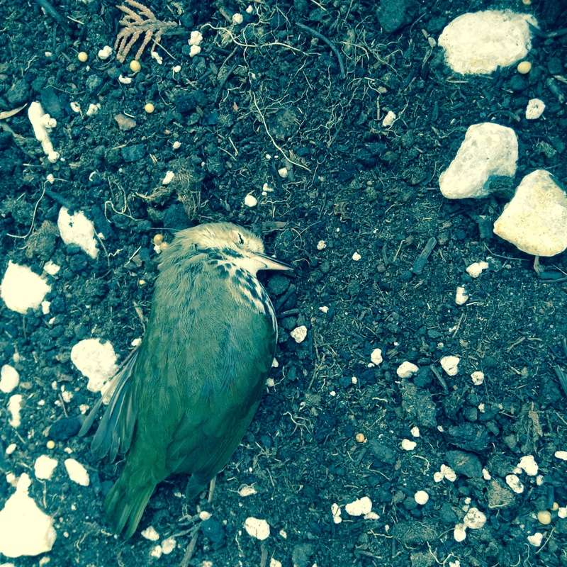 [résolu]Signalement oiseau vert Fullsi10