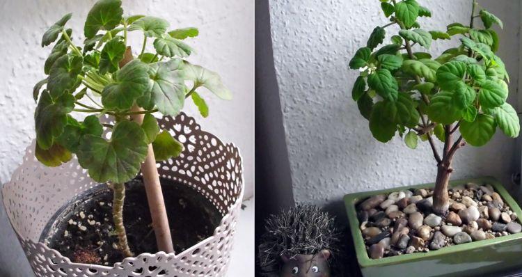 Pelargonium - Pelargonien - alle nichtsukkulenten Arten und Sorten - Aussaat - Stecklinge - Seite 20 Zwisch10