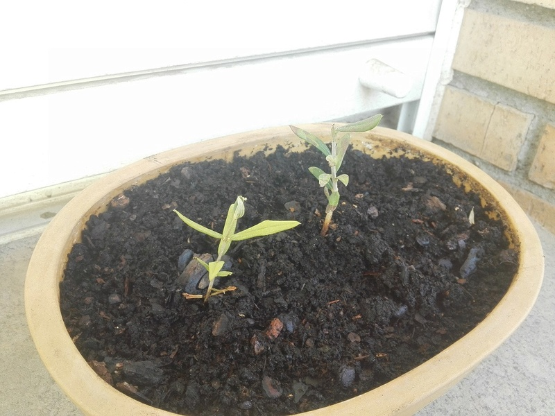 Olivo se enegrecen las hojas y caen Olivo_12