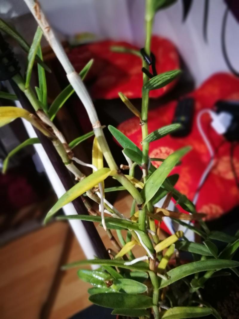 Epidendrum Img_2012