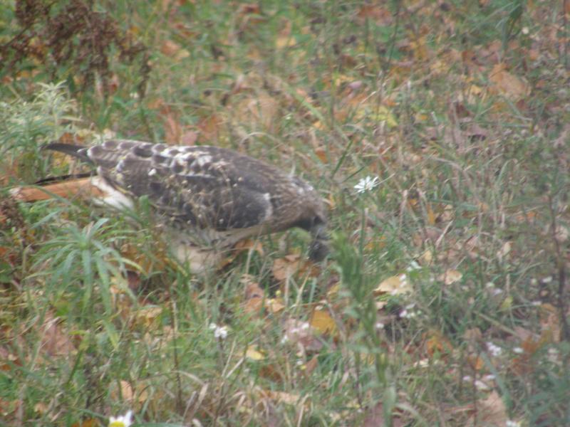 oiseau rapace et son repas Genrey15