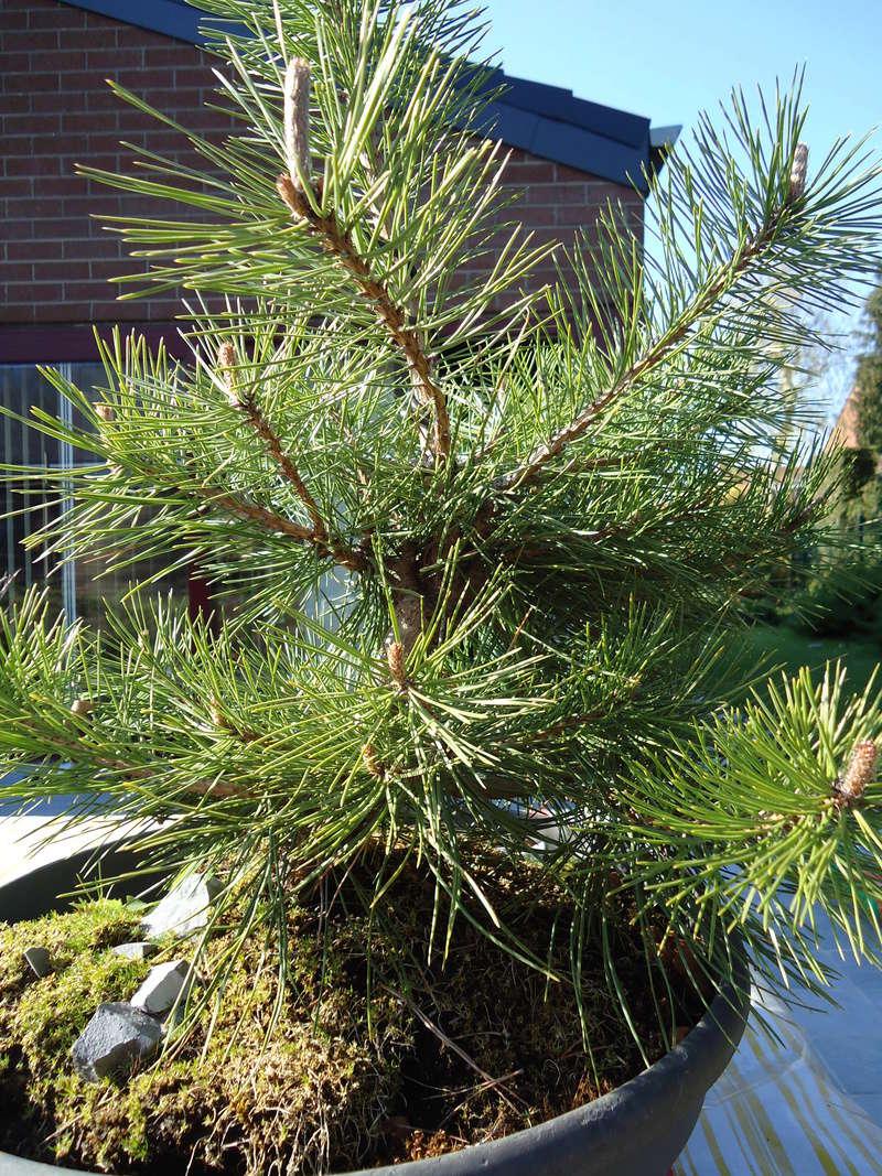 pine identification Dsc02210
