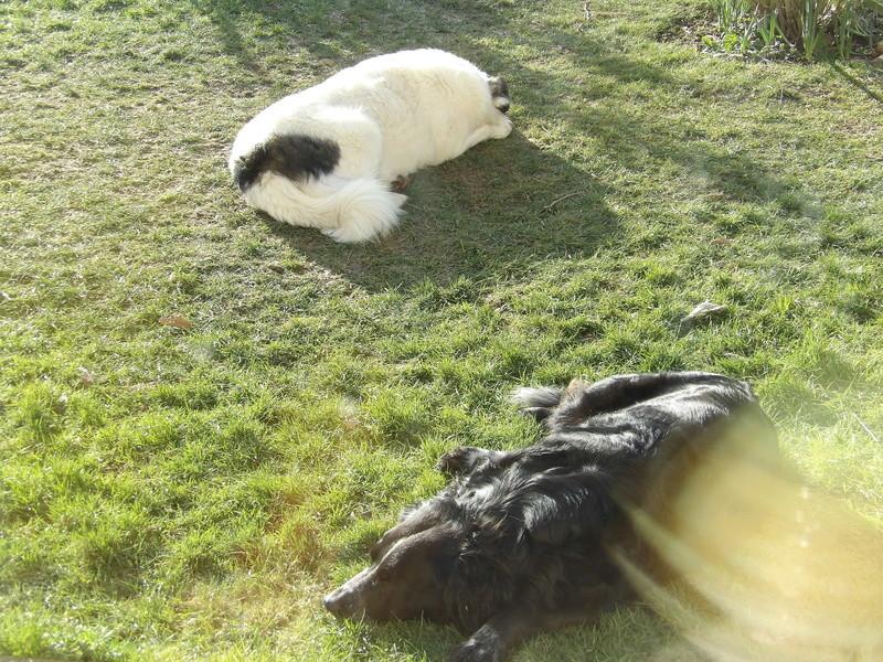 BALROG. Mâle croisé berger de Bucovine sorti de fourrière de Pascani (roumanie) en janvier 2014. Adopté par Claire MJ en Juin 2015 17_fyv12