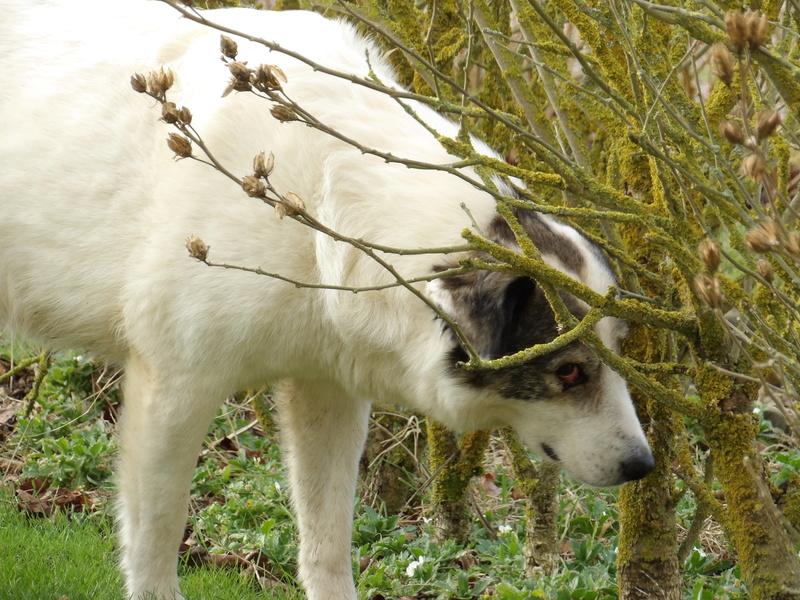 BALROG. Mâle croisé berger de Bucovine sorti de fourrière de Pascani (roumanie) en janvier 2014. Adopté par Claire MJ en Juin 2015 2016_j10