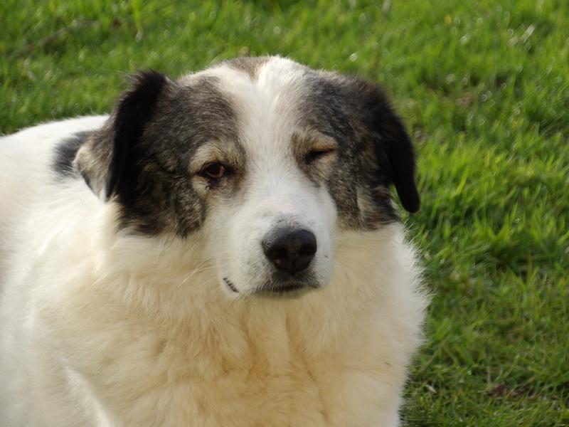 BALROG. Mâle croisé berger de Bucovine sorti de fourrière de Pascani (roumanie) en janvier 2014. Adopté par Claire MJ en Juin 2015 2016_j15