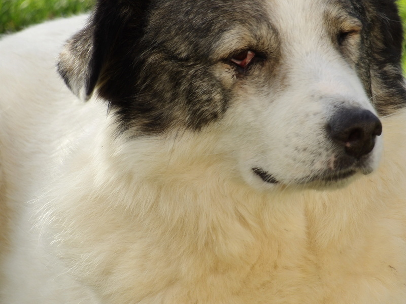 BALROG. Mâle croisé berger de Bucovine sorti de fourrière de Pascani (roumanie) en janvier 2014. Adopté par Claire MJ en Juin 2015 2016_j16