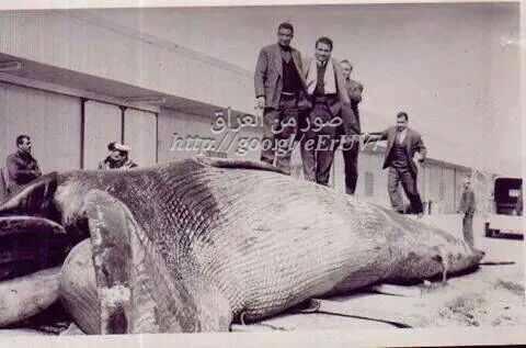 احدى الحيتان دخل ميناء ام قصر في الخمسينات _oao_o10