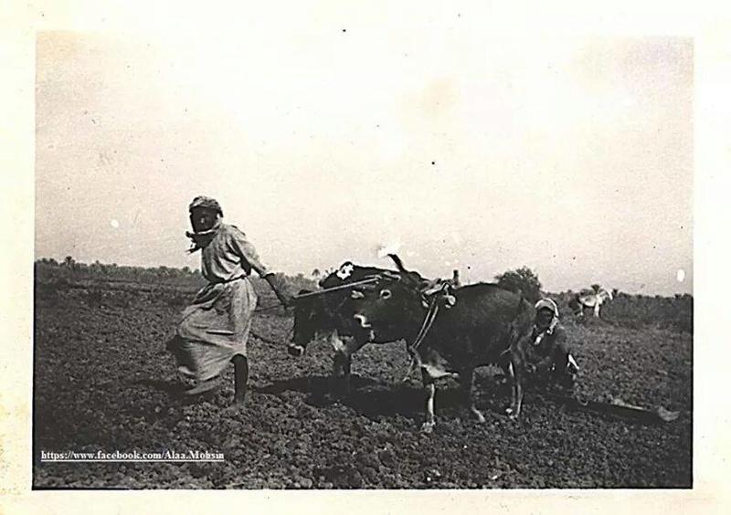 تعديل الأرض الزراعية بمساعدة الثيران 1941 Ao_o_o10
