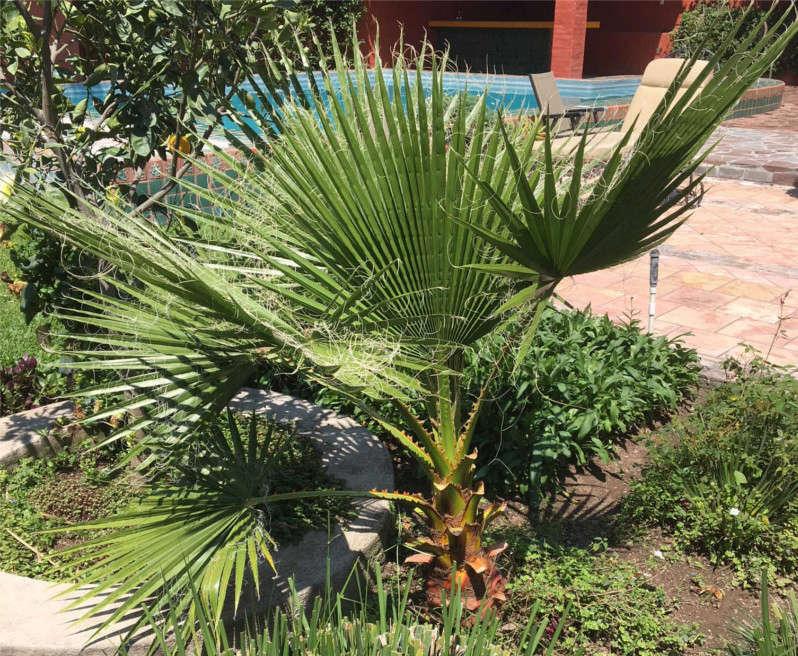 Free Fan Palm Fanpal10